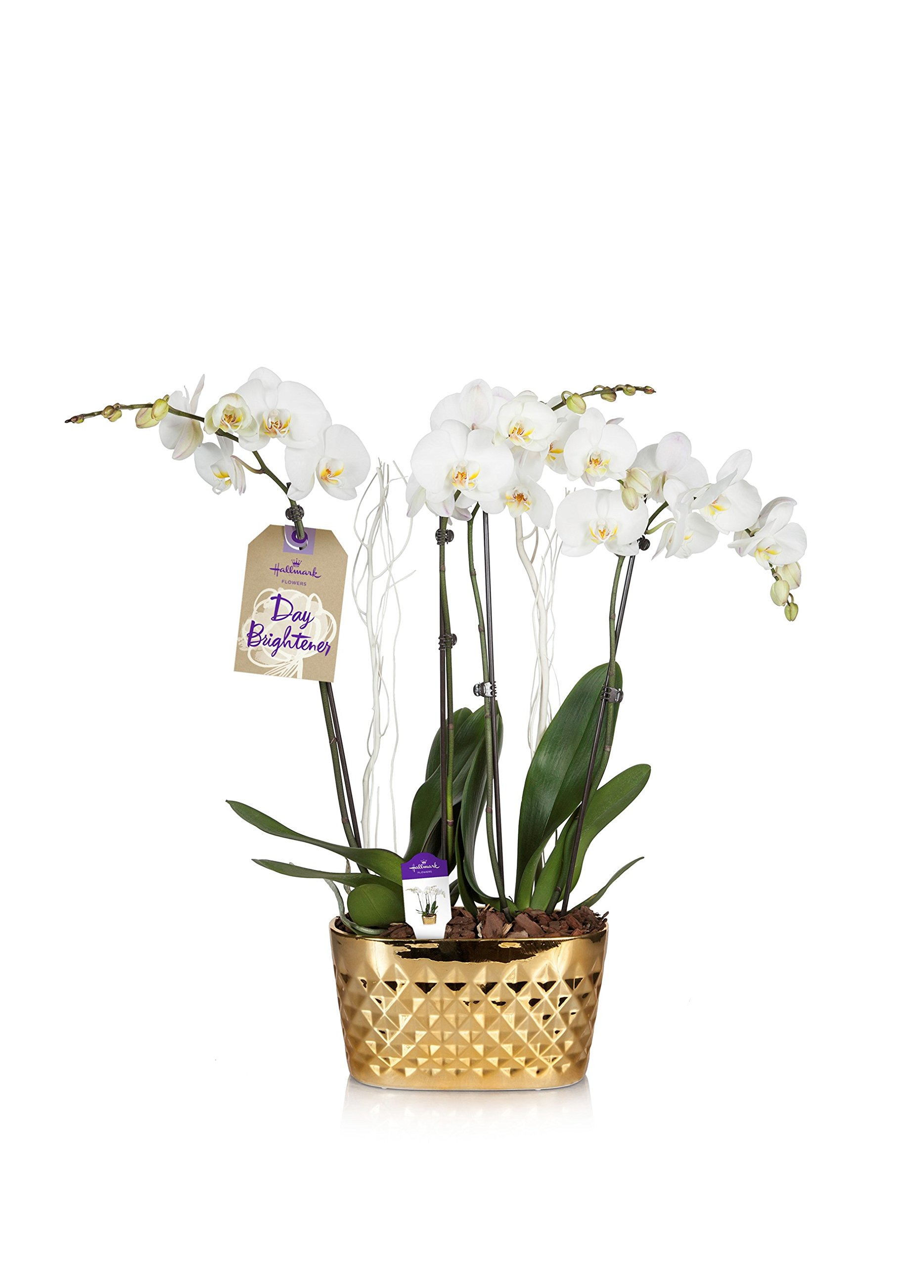 Cheap white container flowers find white container flowers deals on hallmark flowers holiday double spike white orchid duo with white decoration in 10 inch gold mightylinksfo