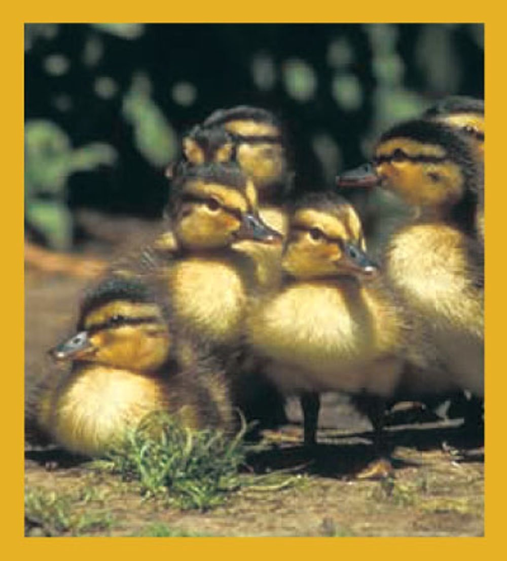 Gift Trenz Ducklings Magnetic Bookmark