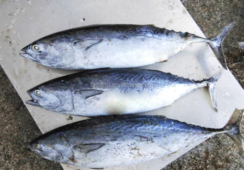 Whole small size frozen bonito seafood wr tuna fish from for Tuna fish size