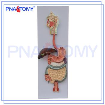 Pnt-0450 Pvc Humano Anatómico Modelo De Sistema Digestivo (3 Partes ...