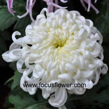 Beautiful price chrysanthemum cut flower fresh cut flowers colombia beautiful price chrysanthemum cut flower fresh cut flowers colombia single white chrysanthemum in good quality mightylinksfo
