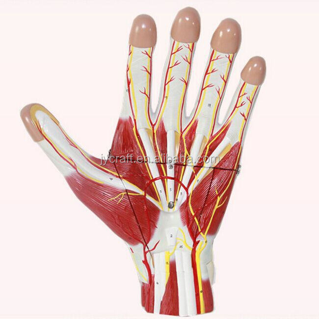 Human Medical Anatomical Hand Internal Structure Model Buy
