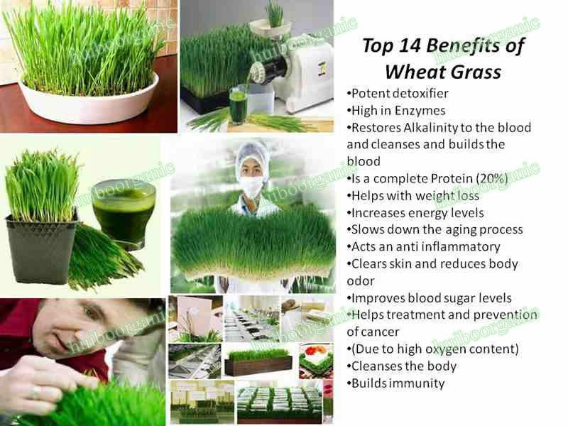 Benefits Of Organic Wheat Grass Juice Powder Buy Organic