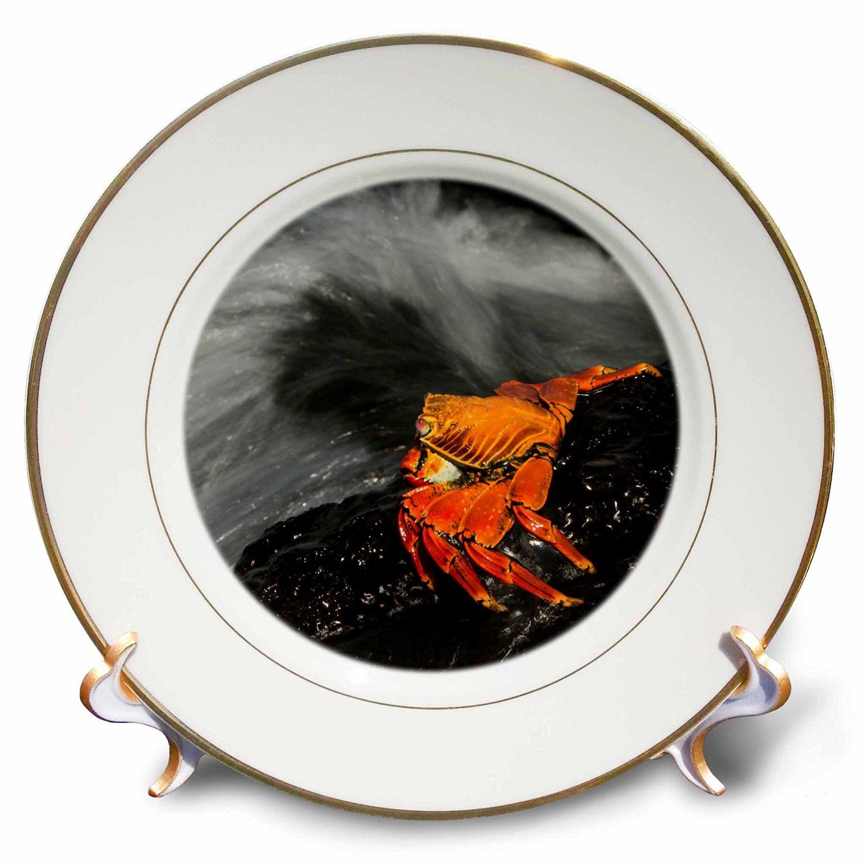 Danita Delimont - Crabs - Sally Lightfoot Crab, Grapsus grapsus, Galapagos Islands, Ecuador. - 8 inch Porcelain Plate (cp_228954_1)