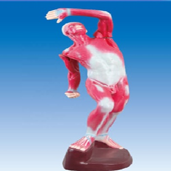 Teaching Model For Biology Palmer Muscle 3d Human Anatomy Model - Buy 3d  Human Anatomy Model,3d Hand Muscle Model,Model Of Palmer Muscle Product on