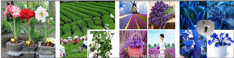 200pcs/bag Delphinium Seeds Mixed Colourful Rocket larkspur,bonsai flower seeds for home garden