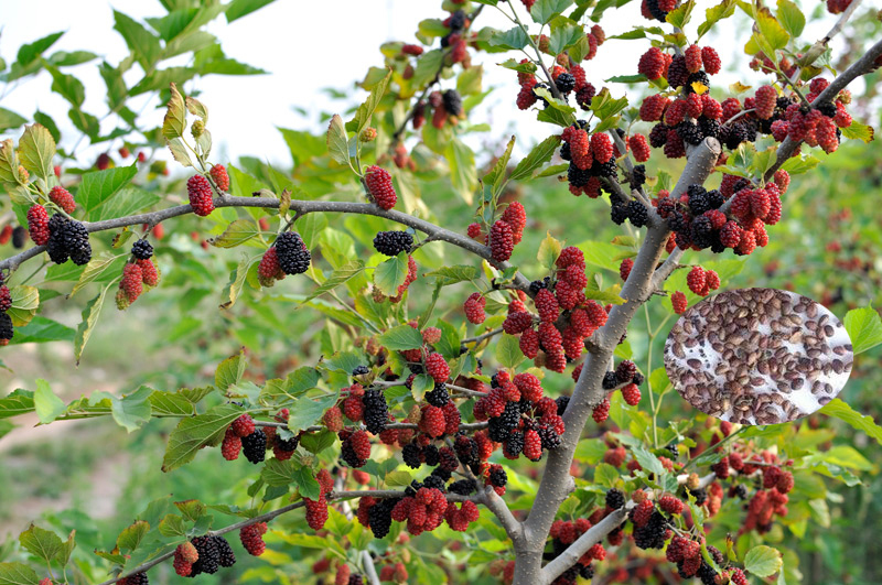 Fruit Tree Seeds Mulberry For