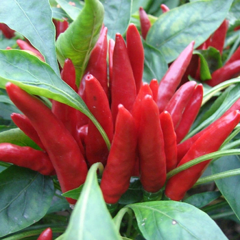 All Varieties Of Pod Pepper Cluster Tabasco Pepper Seeds Hot Red Chili  Seeds For Growing - Buy Pepper Seeds,Hot Pepper Seeds,Hot Chili Seeds  Product