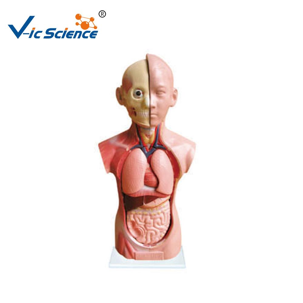 Großhandel anatomie skelette Kaufen Sie die besten anatomie skelette ...