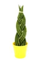 Sansevieria - 9 braided limbs