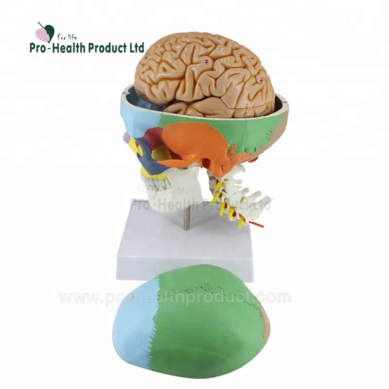 Including 7 Cervical Vertebrae, Nerve, Artery, 8 Parts Brain And Removable Plastic Skull 3D <strong>Model</strong>