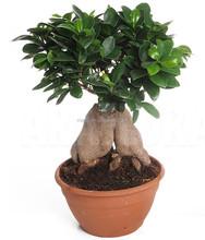 Bonsai ficus ginseng prix