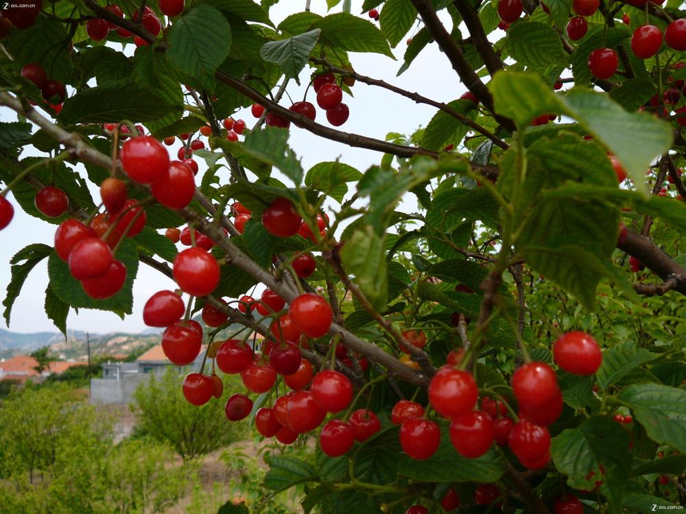 Cherry fruit tree images galleries for Fruit trees