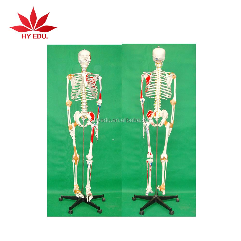 Modelo Médico 180 cm alto modelo de esqueleto humano con color ...