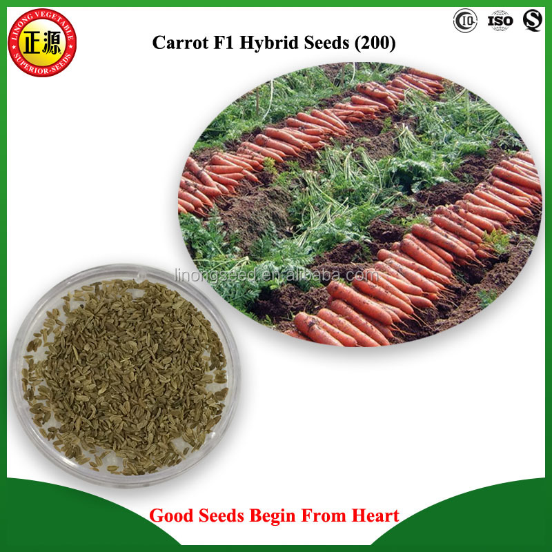 High quality and high yield F1 hybrid SK-7 carrot seeds