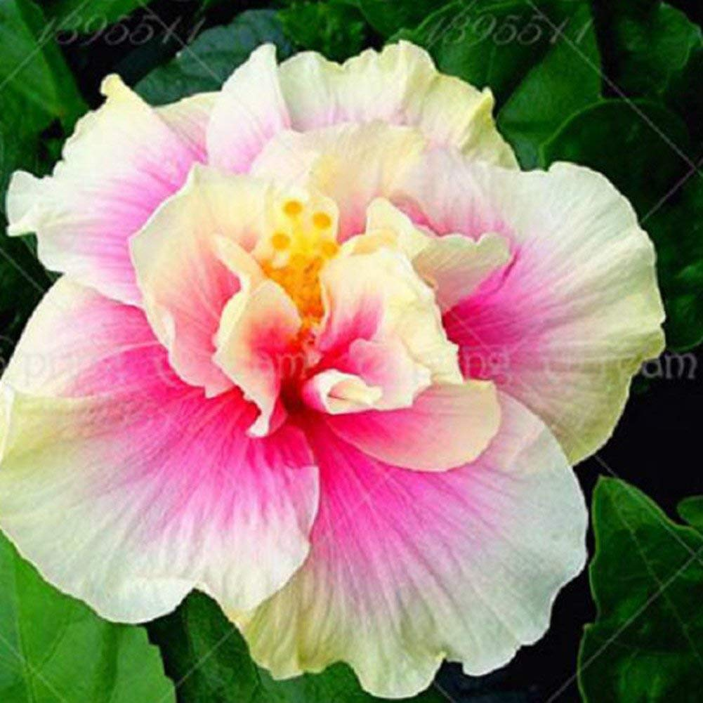 Cheap Hibiscus Plant Seeds Find Hibiscus Plant Seeds Deals On Line