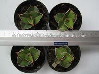 Sansevieria pinguicula + Blue Form