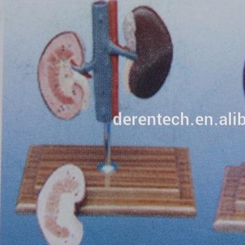 Pig Kidney Model Buy Pig Kidneyplastic Kidney Of Piganatomical