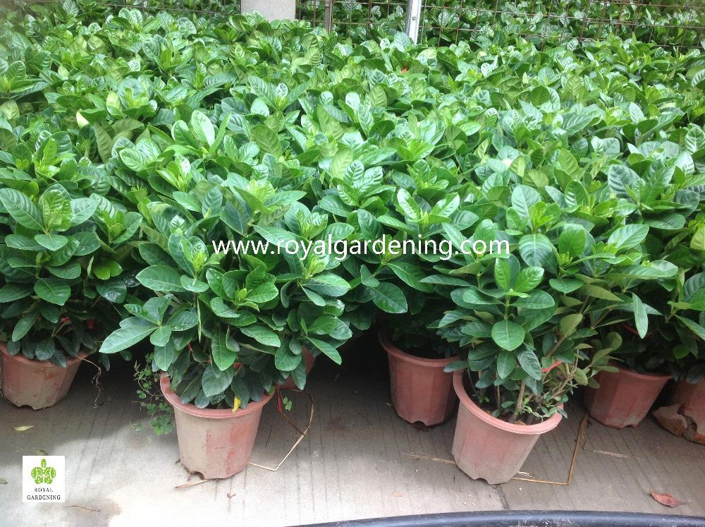 Gardenia Jasminoides Ornamental Plants