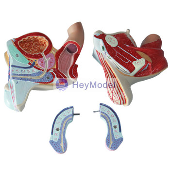 Heymodel Male And Female Genital Mutilation Model Male Reproductive System  Model Testicular Urinary System Anatomical Model - Buy Male Reproductive