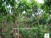 Mangifera indica fruit trees good variety