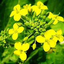 hot sale rapeseed oil refined Canola Oil
