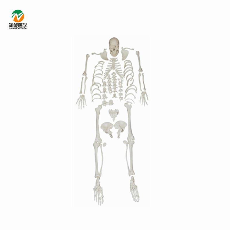 180cm Medical Anatomical Human Skeleton Scattered Bones Model Buy
