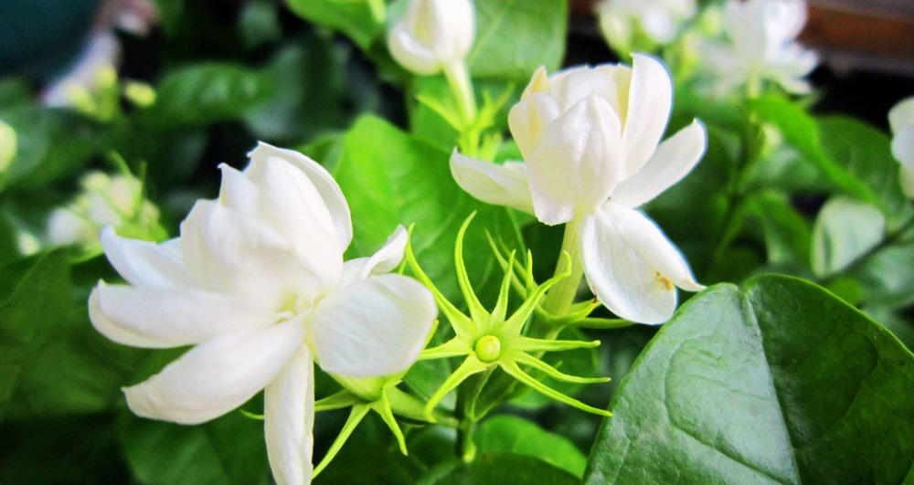naturel fleur de jasmin d'extraction d'huile en vrac gros-huiles d