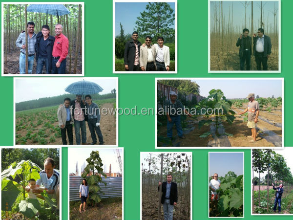 The price of top quality seeds for paulownia lumber