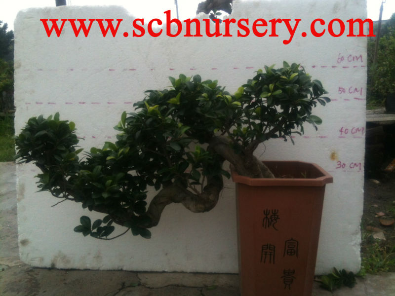 Ficus cascade 35cm Bonsai nursery wholesaler