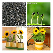 30 mini sunflower seeds Dwarf sunflower seeds sunflower series height 40cm Flower Seeds