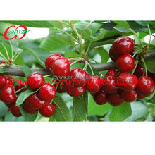 Fresh fruit canned cherry in syrup best price manufacturer