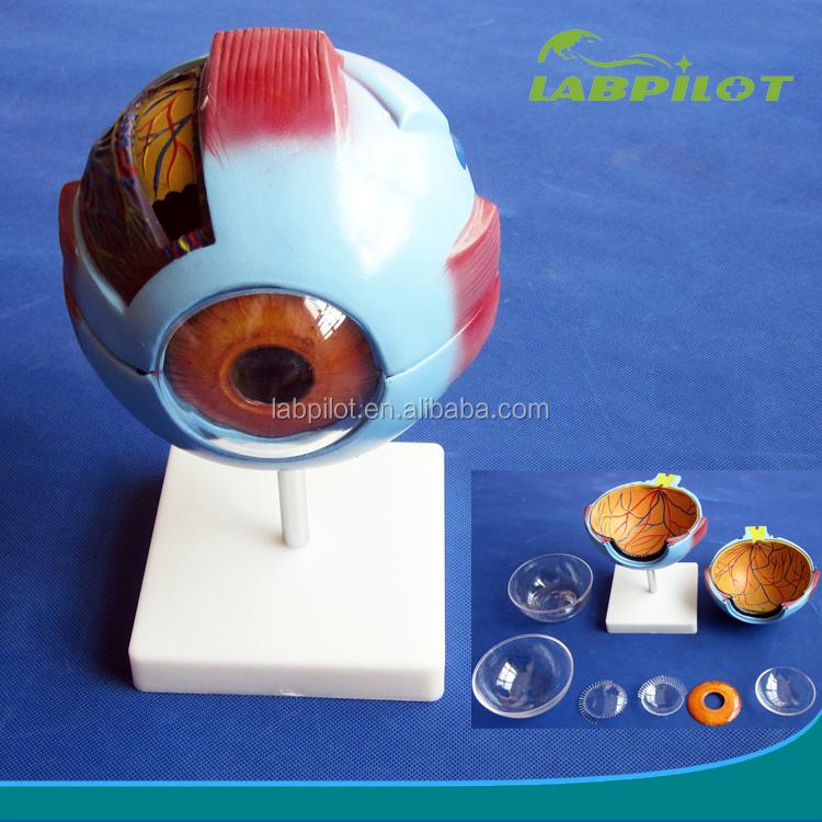 Vivid Human Giant Eye Modeleyeball Structure Modeleyeball