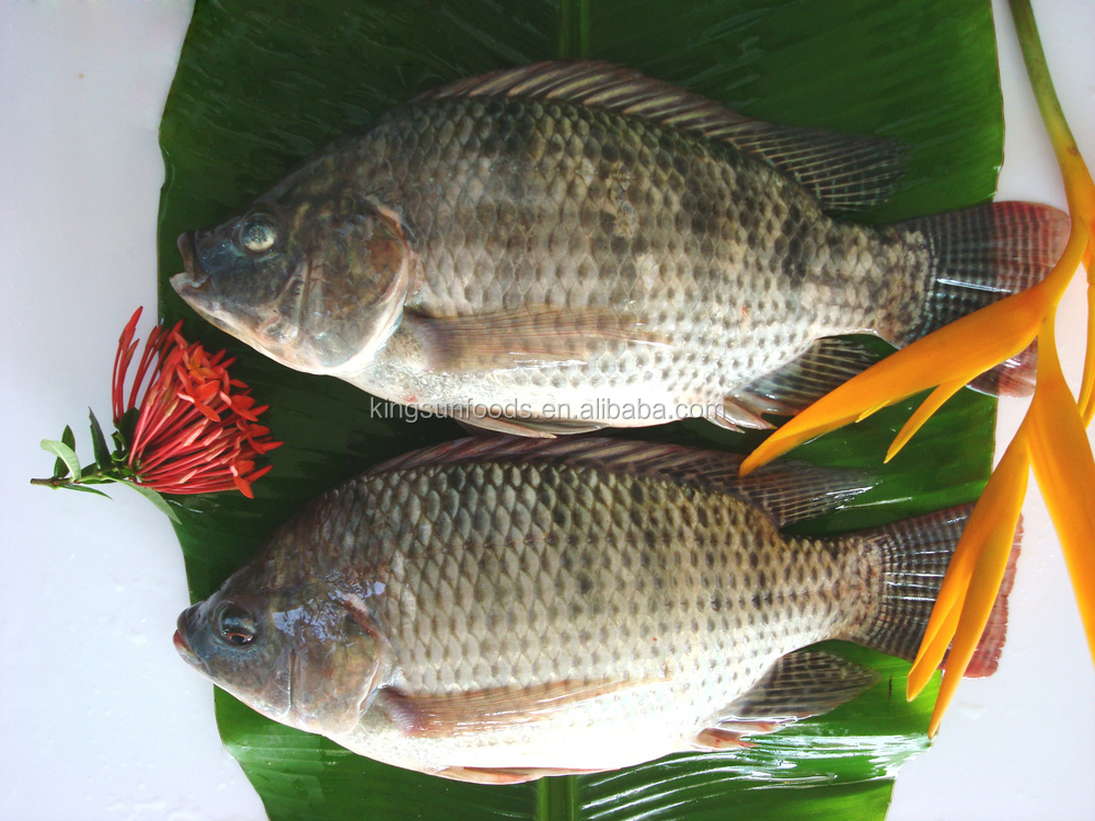 Tilapia Fish Farming Wholesale Tilapia Whole Fish