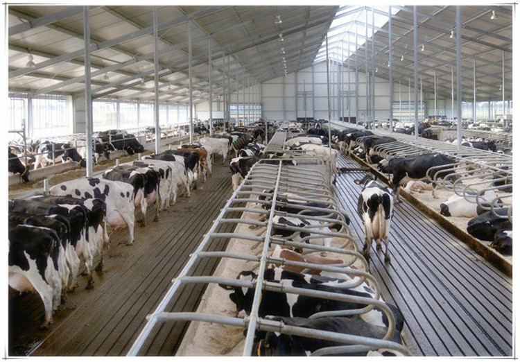 Steel structure cowshed dairy farm shed building view for Farm house construction