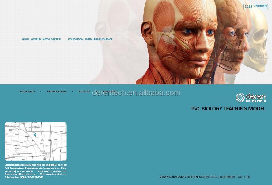 Kopf Muskel-modell,Kopf Und Hals Dissektion Modell,Die Mucsles Und ...