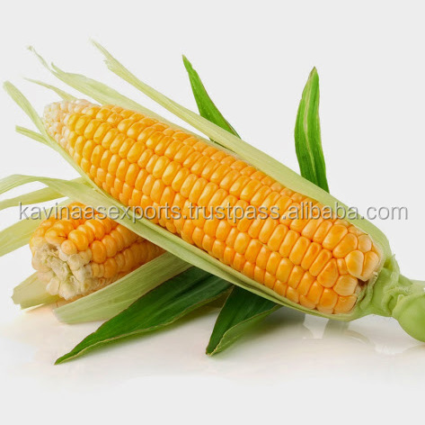 Natural Maize Yellow Corn