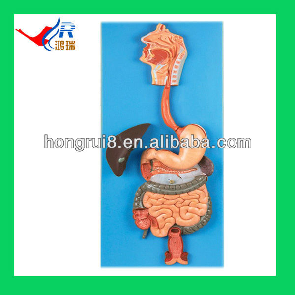 Anatomical Human Digestive System Model Buy Human Digestive