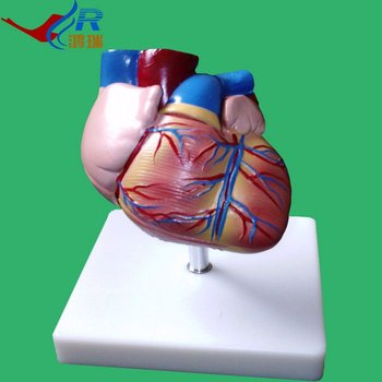 Advanced Erweiterten Anatomischen Gemalt Herz,Menschlichen Herzens ...