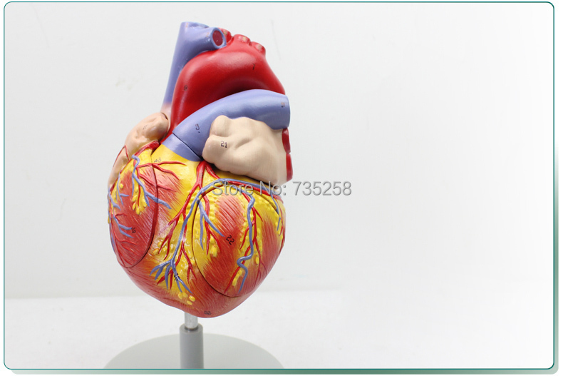 Cheap Model Heart Anatomy, find Model Heart Anatomy deals on line at ...