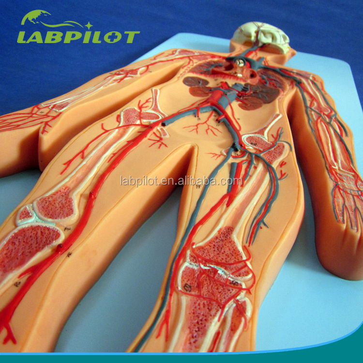 Finden Sie Hohe Qualität Ganzkörper-anatomie Hersteller und ...