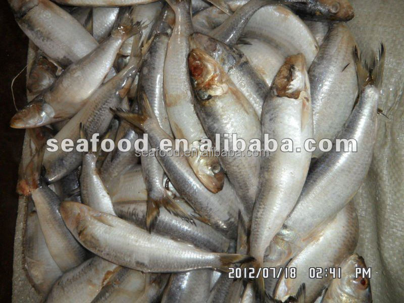 frozen sardine for tuna bait