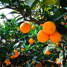Farm supplies baby orange for indonesia natural fruits