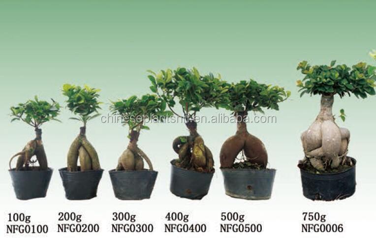 50g~3000g Ginseng Grafted Ficus Bonsai,Ficus Ginseng,Ficus ...