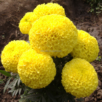 High yield F1 hybrid marigold flower seeds for growing