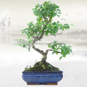 Ligustrum Sinense Mini Bonsai 15cm S Shape Bonsai Trees Live Plant Indoor Plant Buy Ligustrum Sinense Indoor Plant Bonsai Product On Alibaba Com