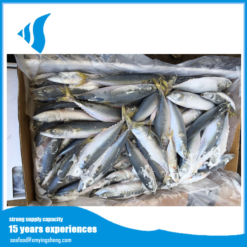 Whole round Raw material Frozen pacific mackerel fish