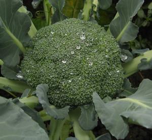 Broccoli Extract sulforaphane CAS 592-95-0