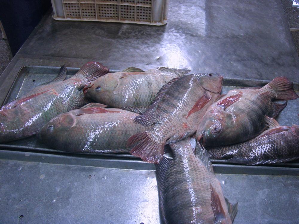 Gambar Terbaik Budidaya Ikan Nila Ukuran Besar Buy Product Gambar Di Rebanas Rebanas