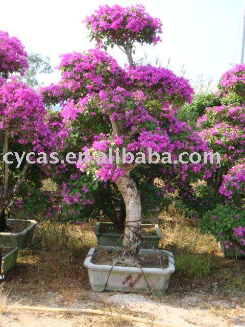 Bouganville piante di fioritura id prodotto 211820072 for Bouganville in vaso prezzo